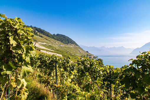 Vineyard of Lavaux, between lake and mountains