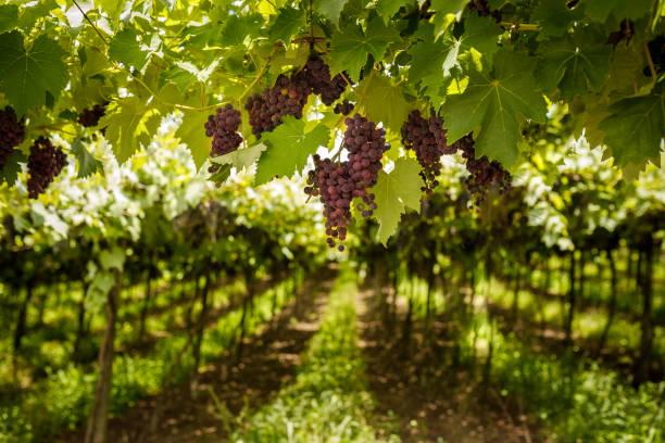 Vineyard of red grape stock photo