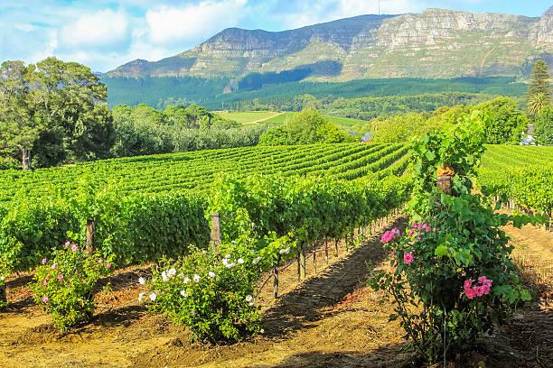 Vineyard of Stellenbosch stock photo