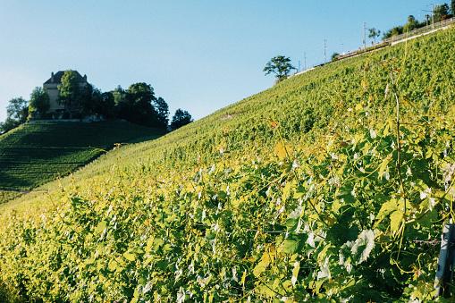Vineyard of the Chatelard Castle in Montreux, Switzerland