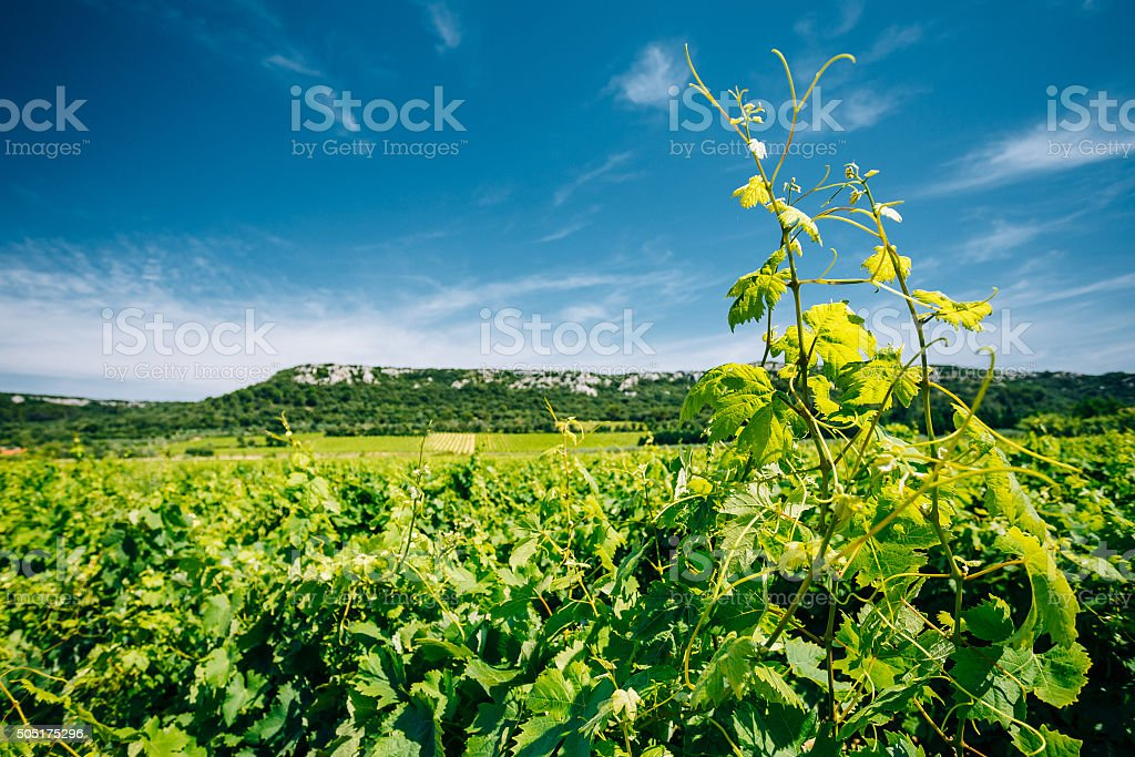 Vineyard of the South of France. Agricultural concept with Sunny stock photo
