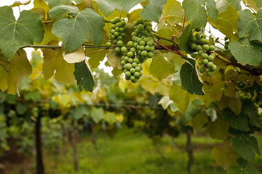 Vineyard of white grape