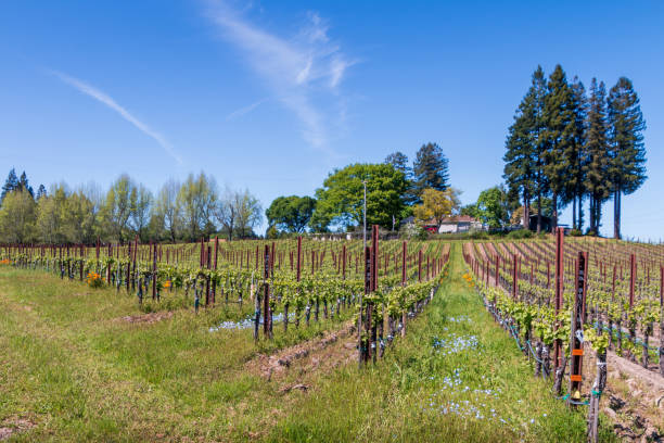 Vineyard of with flowers in the rows stock photo