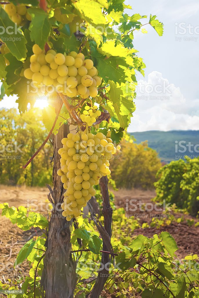 Vineyard on a beautiful summery day stock photo