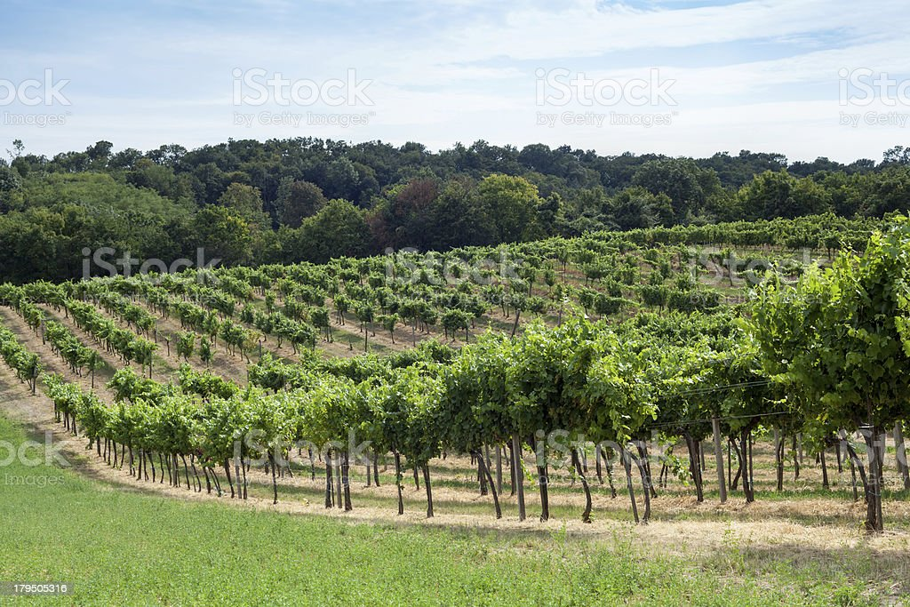Vineyard on a hill stock photo