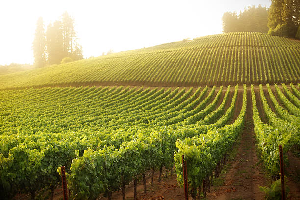 Vineyard on a hillside at sunrise or sunset  sonoma stock pictures, royalty-free photos & images