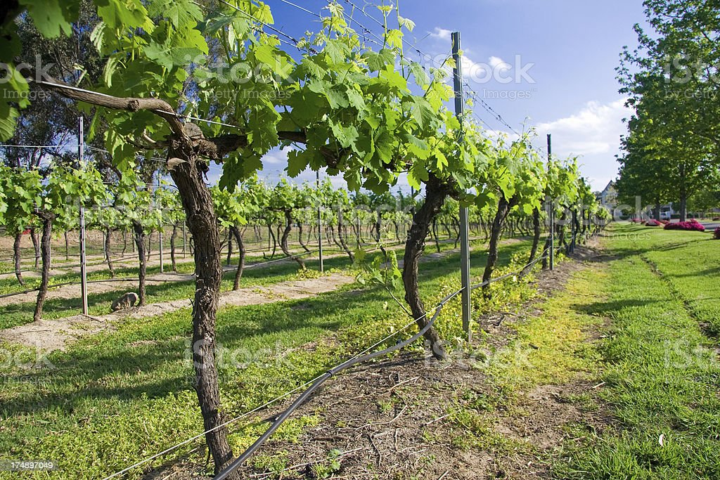 Vineyard on a sunny day royalty-free stock photo