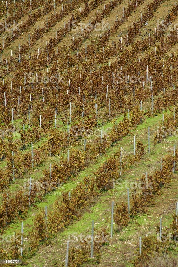 vineyard on gentle slope in Etna region, Sicily royalty-free stock photo
