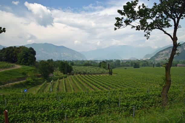 Vineyard on Lake Iseo stock photo