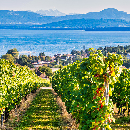 Mont sur Rolle, Switzerland - September 05 2020 : many rows of plants with ripe grapes on them on the steep hills around the lake of Geneva