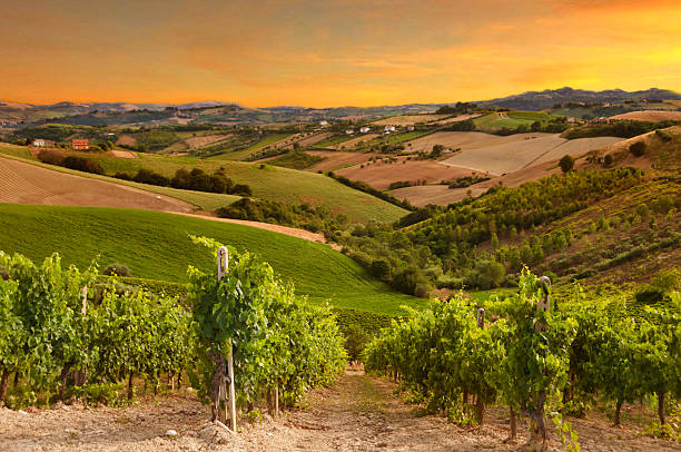 Vineyard on sunset rows of vineyard among hills on sunset bordeaux stock pictures, royalty-free photos & images