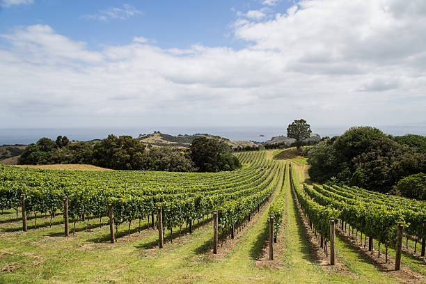 Vineyard on the hillside stock photo