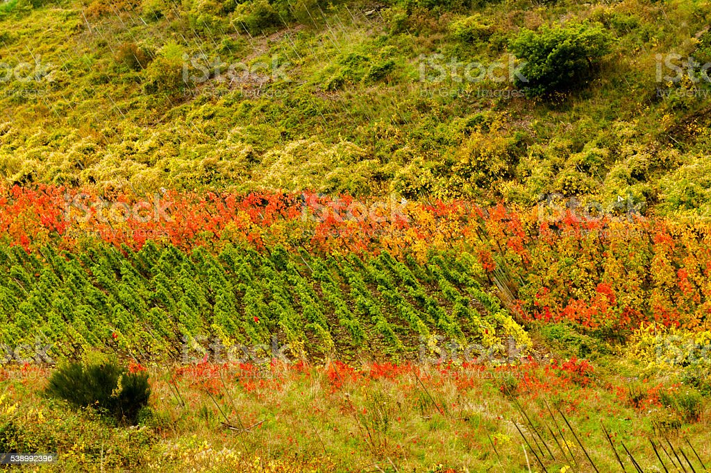 Vineyard on the Mosel stock photo