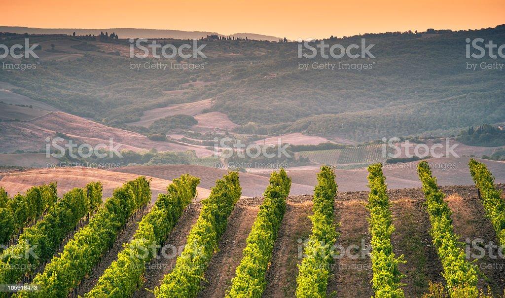 Vineyard On Tuscany Hill At Sunrise, Montalcino royalty-free stock photo