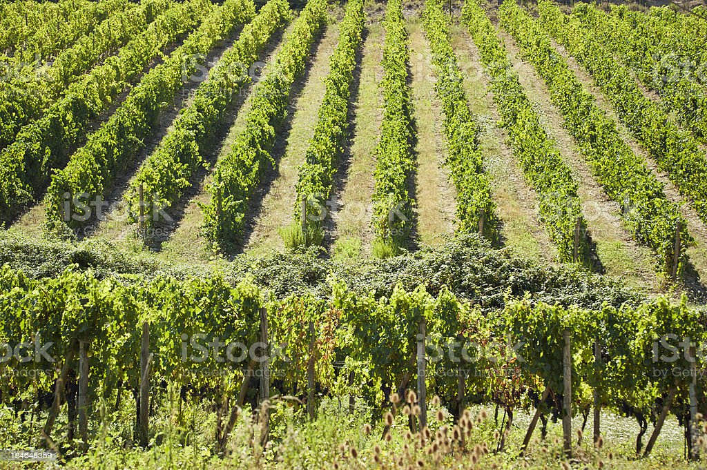 Vineyard On Tuscany Hill, Val D'Orcia royalty-free stock photo
