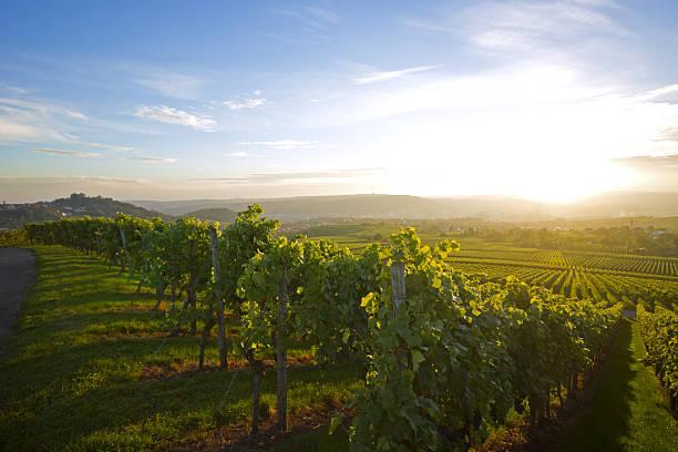 vineyard in stuttgart - sommerferien baden württemberg stock-fotos und bilder
