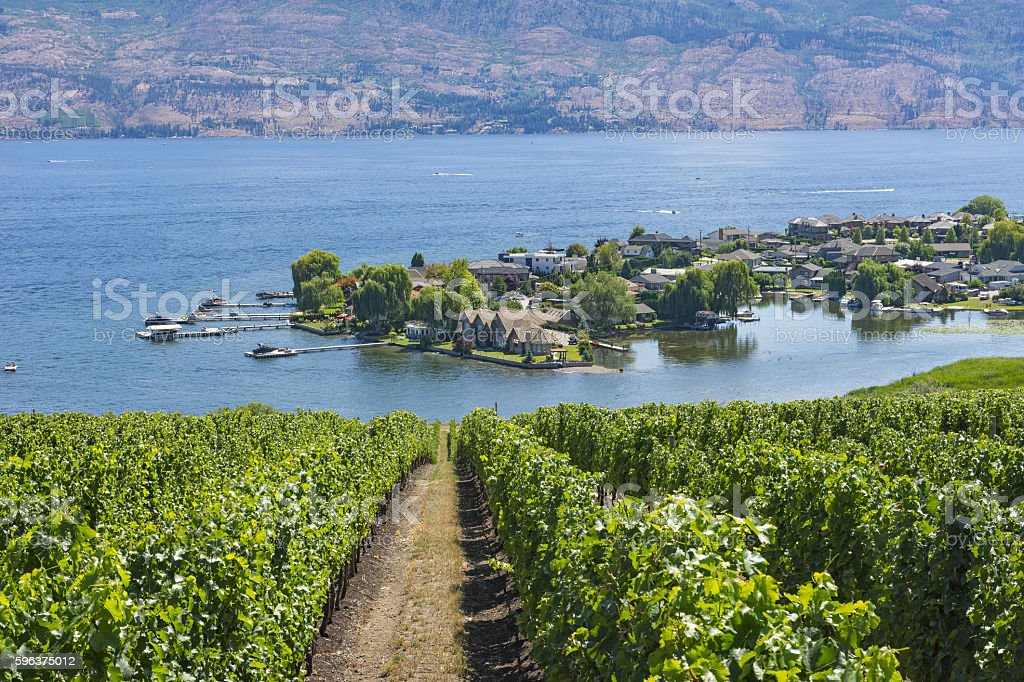 Vineyard Overlooking Okanagan Lake Kelowna BC Canada stock photo