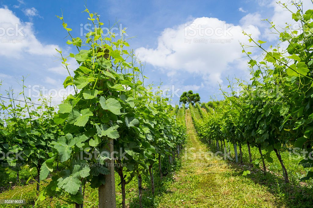 Vineyard perspective 2 stock photo