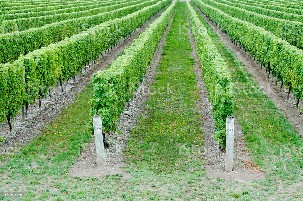 Vineyard Perspective royalty-free stock photo
