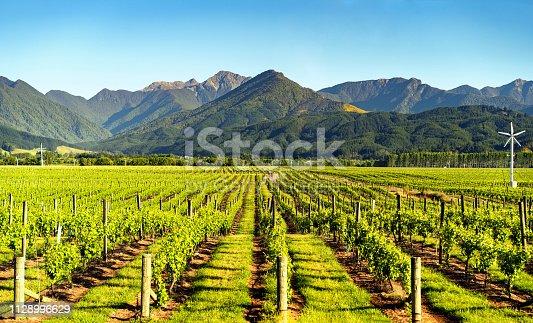 Vineyard in Blenheim, Marlborough, South Island, New Zealand.