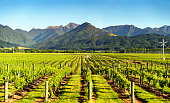 Vineyard in Blenheim, Marlborough, South Island, New Zealand.