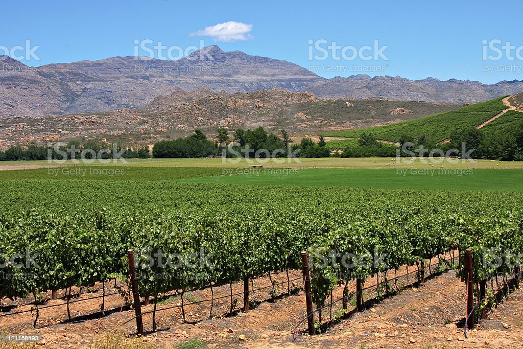 vineyard  Agricultural Field Stock Photo