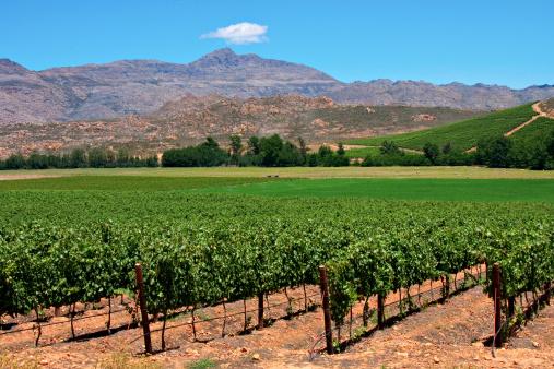 Vineyard Stock Photo - Download Image Now