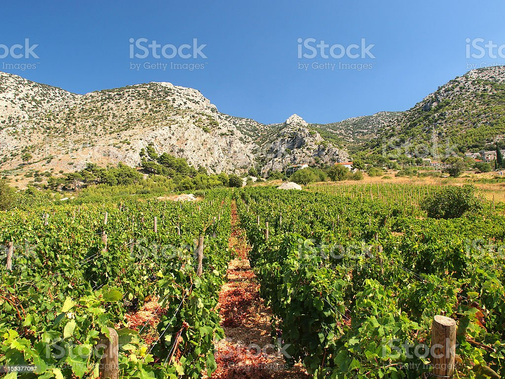Vineyard  Agriculture Stock Photo