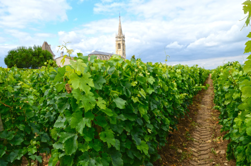 Vineyard in Berdeaux region in France, with a church tower on the horizon