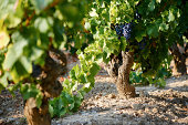 'Wine plant, Cotes du Rhone, with grapes in the south of France.'