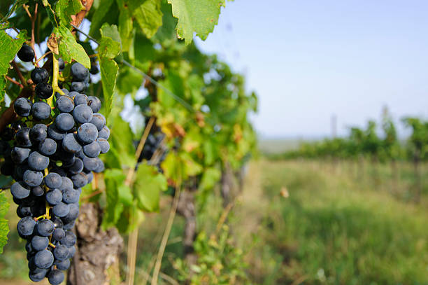vineyard - burgenland stock-fotos und bilder