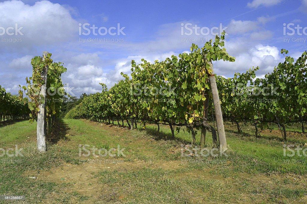 vineyard royalty-free stock photo