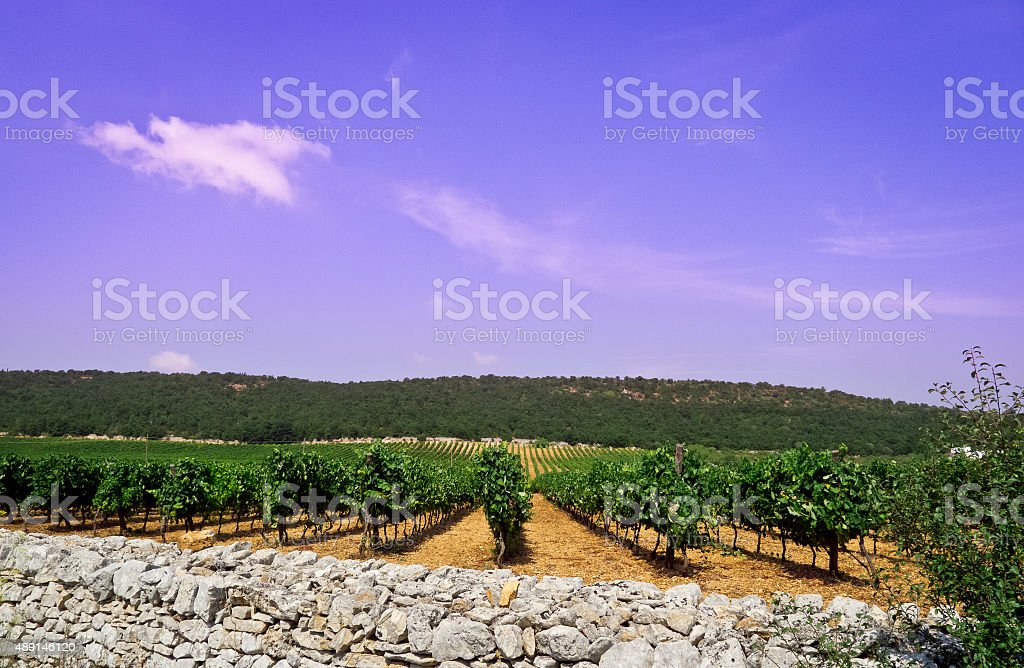 Vineyard . stock photo