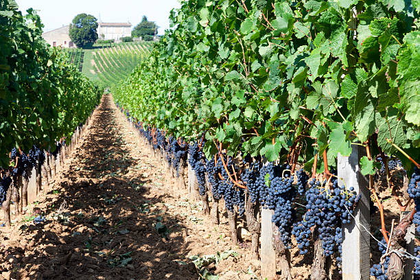 Vineyard The rolling countryside of a vineyard in bordeaux. bordeaux stock pictures, royalty-free photos & images