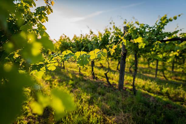 vineyard - slingerväxt bildbanksfoton och bilder