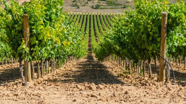vineyard - burgos fotografías e imágenes de stock