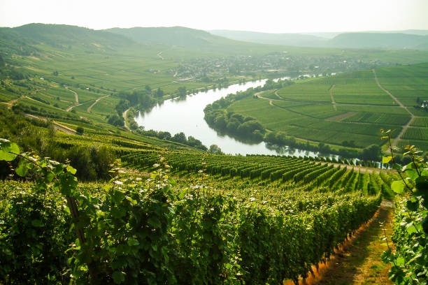 Vineyard View of a vineyard on Lake Constance. Bodensee stock pictures, royalty-free photos & images