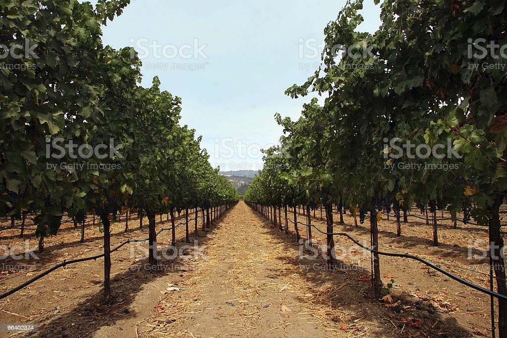 Vineyard - Royalty-free Agriculture Stock Photo