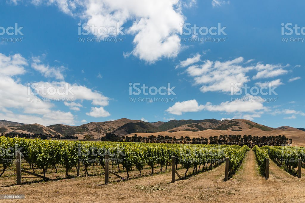 vineyard plantation in Wither Hills stock photo