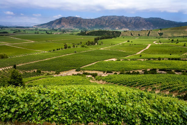 Vineyard producing Chilean wine near Santa Cruz in the Colchagua Valley - Chile - South America stock photo