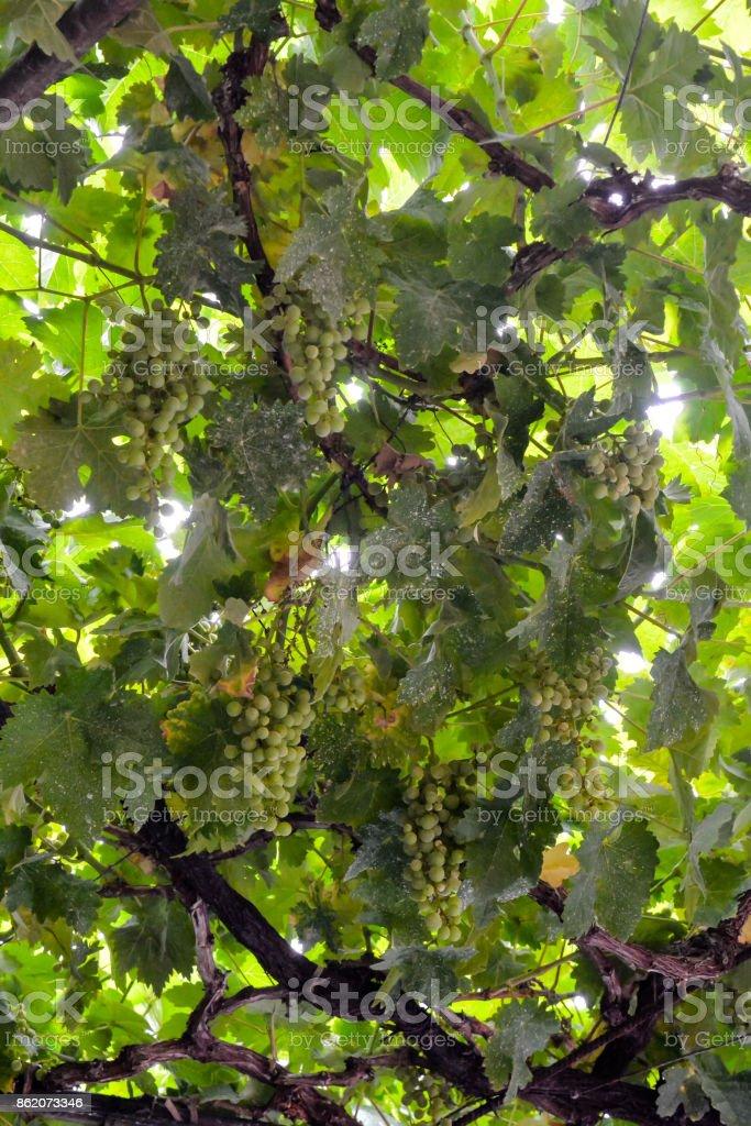 Vineyard Ready to Produce Wine stock photo