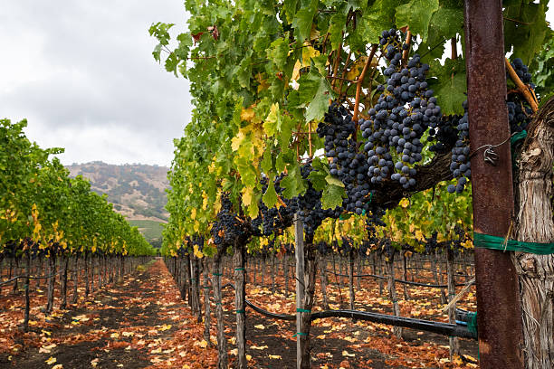 Vineyard row in autumn with red wine grapes at harvest Purple grapes hang from vines in Napa Valley, California in fall. Fallen leaves on the ground and trellising of grapevines. sonoma stock pictures, royalty-free photos & images