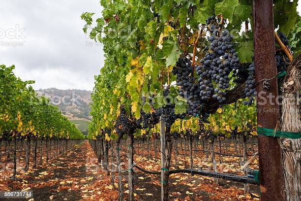 Photo of Vineyard row in autumn with red wine grapes at harvest