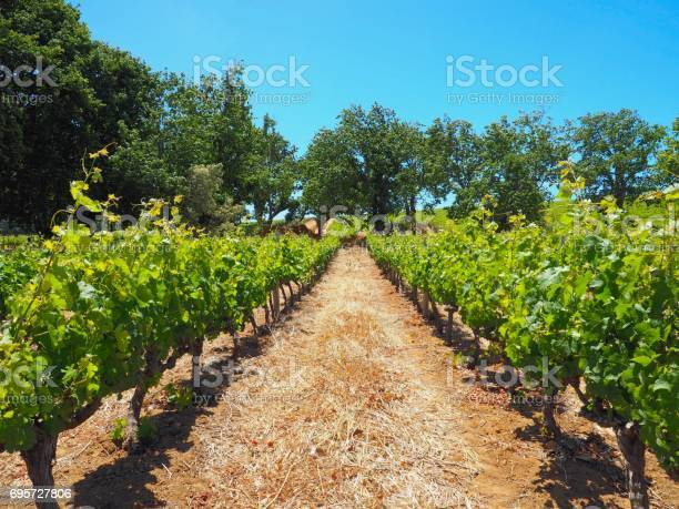 Vineyard row planted for wine with green tree and navy blue sky in picture id695727806?b=1&k=6&m=695727806&s=612x612&h= p65ofyz5lpn5 q34w t5 zg  odfvwwbtscl2hd5ug=