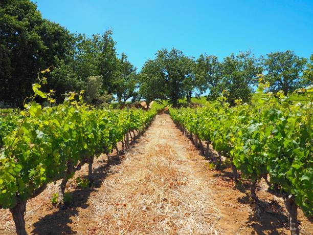 Vineyard row planted for wine with green tree and navy blue sky background in wine farm of Stellenbosch, Kanonkop Wine Estate, Cape Town, South Africa, grape farm stock photo