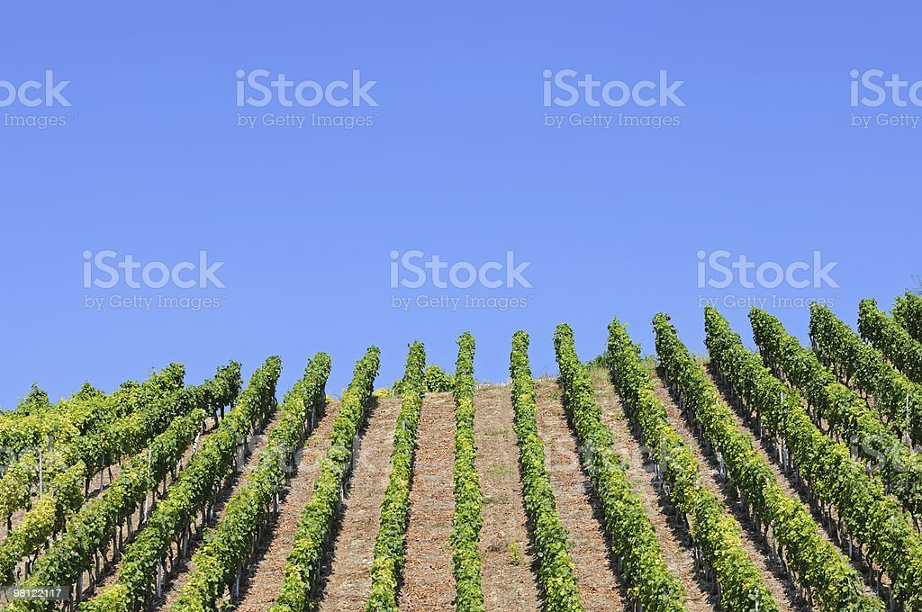 Vineyard Rows against blue sky royalty-free stock photo