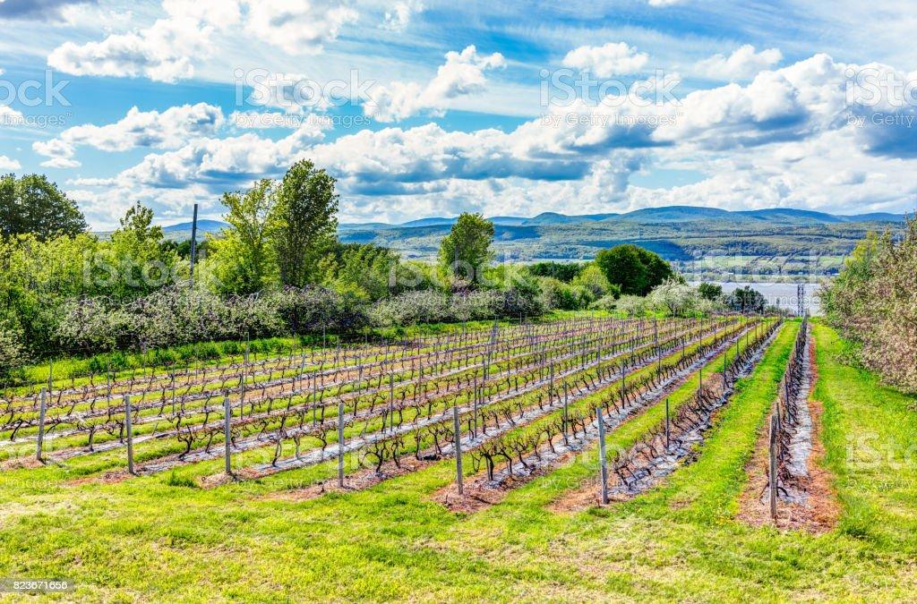 Linhas de vinhedo durante o verão em Ile D'Orleans, Quebec, Canadá, com vista do Rio São Lourenço - foto de acervo