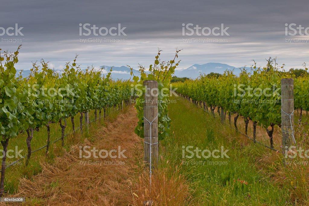 Vineyard rows stock photo