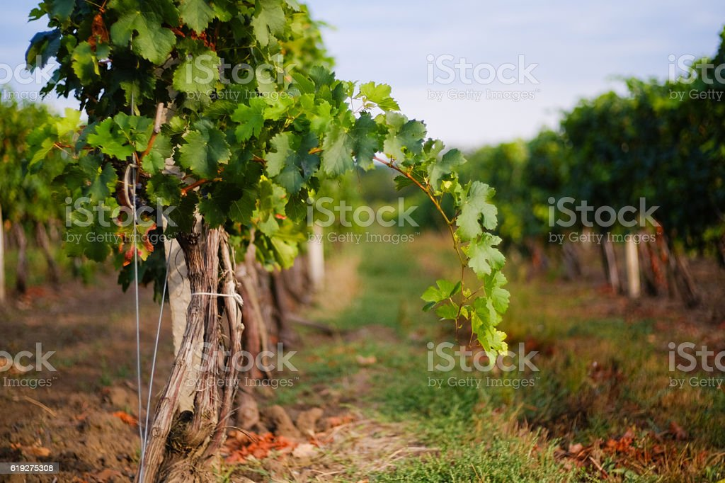 Vineyard rows with grapes. Grapes harvesting season in the Repub stock photo