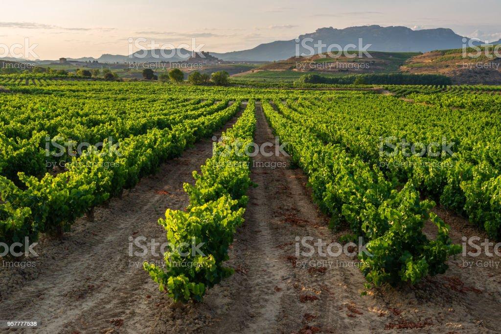 Vineyard, San Vicente de la Sonsierra as background, La Rioja, Spain stock photo